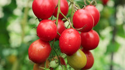 Cherry tomatoes Footage
