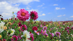 Flower field Footage