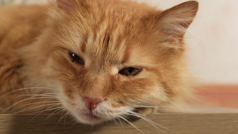 adult fluffy ginger cat lies on a dresser in the room, a cute pet Live Action