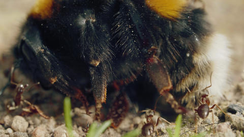 Aggressive attack of ants to bumblebee on the ground in forest Live Action