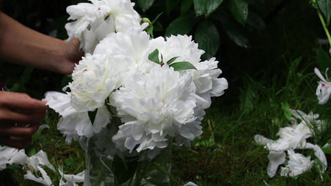 Beautiful female hands collect a bouquet of white peonies. 4K footage ライブ動画