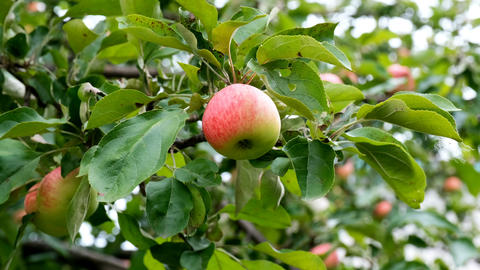 Apple tree with red apples in the sunset. A red Apple grows on a branch. Soft focus on apples. Green Live Action