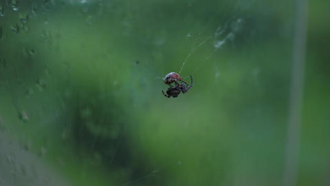 ladybug caught in spider's web, the spider eating ladybug Live Action