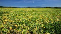Adzuki bean field, Hokkaido, Japan Footage