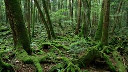 Aokigahara, Yamanashi Prefecture, Japan Footage