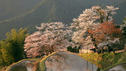 Cherry blossoms and rice paddy, Mie Prefecture, Japan Footage