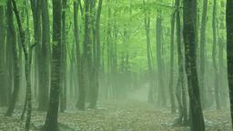 Beech forest in Aomori Prefecture, Japan Footage