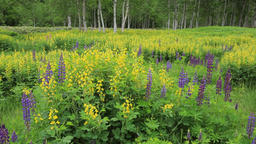 Lupin field and forest, Hokkaido, Japan Footage