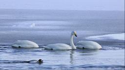 Swans in Hokkaido, Japan Footage