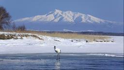 Japanese Cranes, Hokkaido, Japan Footage
