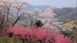 Hana Peach and cherry blossoms, Fukushima Prefecture, Japan Footage