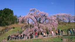 Tourists enjoying cherry blossoms, Fukushima Prefecture, Japan Footage
