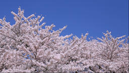Cherry blossoms in full bloom Footage