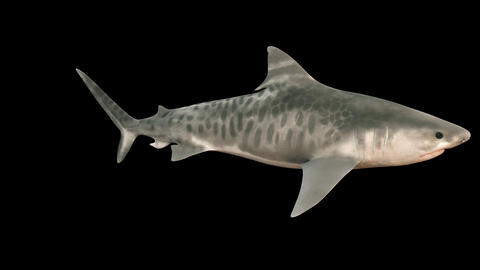 A large shark swims under water with a wide open mouth full of sharp dangerous teeth. 3d animation Animation