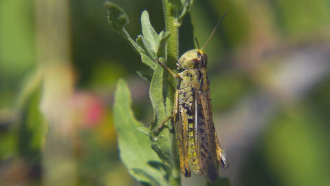 Agricultural pest Grasshopper or locust sitting on grass Live Action