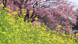 Rapeseed and cherry blossoms Footage