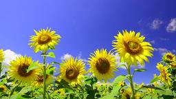 Sunflowers and blue sky Footage
