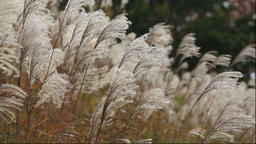 Silver grass fluttering in the wind, Aomori Prefecture, Japan Footage