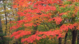 Autumn leaves at the Juniko Lakes in the Shirakami Sanchi World Heritage area in Footage