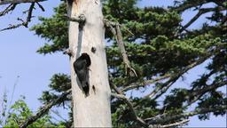 Black Woodpecker in Hokkaido Footage