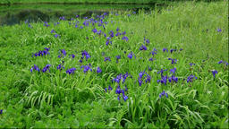 Japanese iris at Minamihama Wetlands, Rishiri Island, Hokkaido, Japan Footage