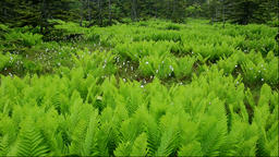 Tussock and fern at Minamihama Wetlands, Rishiri Island, Hokkaido, Japan Footage