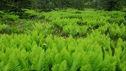 Tussock and fern at Minamihama Wetlands, Rishiri Island, Hokkaido, Japan Footage