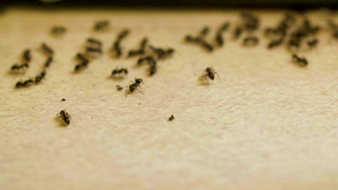 Ants get scared of noise and scatter on woods table in the kitchen ライブ動画