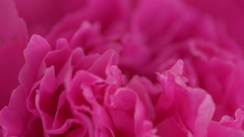 Macro Pink Peonies GIF