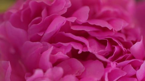 Pink Petals Macro GIF
