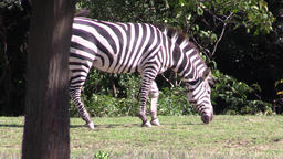 Zebra at the zoo, Aichi Prefecture, Japan Footage