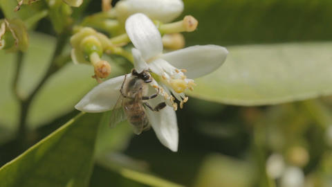 Macro shot of a bee on a white citrus tree flower ビデオ