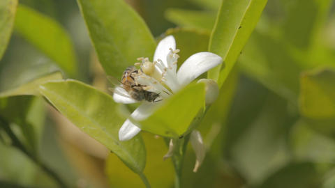 Macro shot of a bee on a white citrus tree flower Footage
