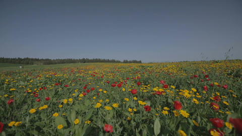 Wide shot of landscape of green fields with yellow and red flowers Footage