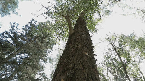 Low angle shot of a tall tree in a forest Footage