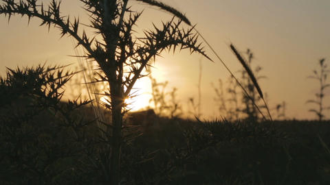 Plants on the background of the sunset Footage