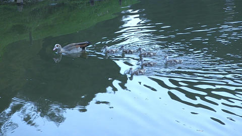 Duck family in the lake Footage