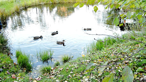 Four cheerful wild ducks swim in a small pond, a man feeds the ducks in the lake Live Action