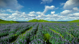 Lavender field against beautiful timelapse clouds, camera fly Animation