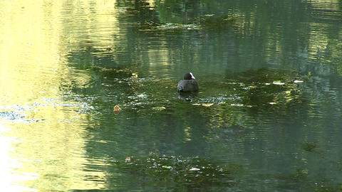 Duck in river Footage