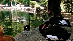 Close up of black Swans and Duck by Lake Footage