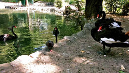 Close up of black Swans and Pigeons by Lake Footage