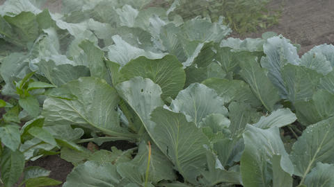 Watering cabbage white-rolled. Caring for the vegetable garden Live Action