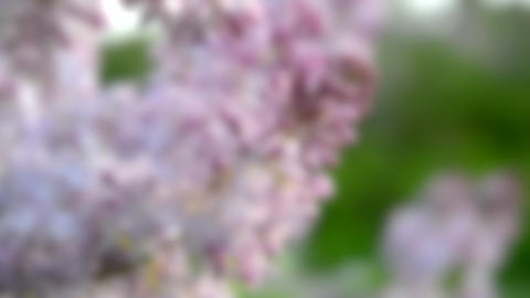 Blurred background. purple lilac flowers is very close with closed buds Live Action