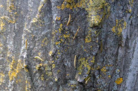 Close Up Of A Oak Processionary On A Tree フォト
