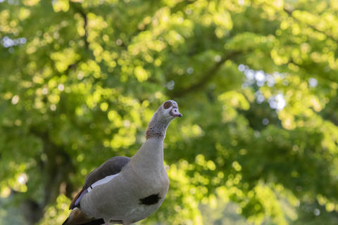 Close Up Of An Egyptian Goose At Amsterdam The Netherlands 25-6-2020 フォト