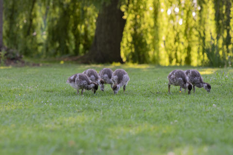 Close Up Of Baby Egyptian Gooses At Amsterdam The Netherlands 25-6-2020 フォト