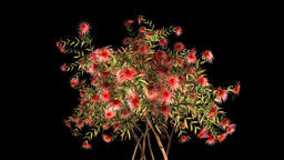 Exotic tree with red flowers growing, Alpha included Animation