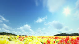 Field of Tulips, timelapse clouds, fly over Animation
