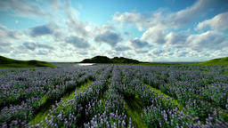 Lavender field against beautiful clouds, camera fly Animation